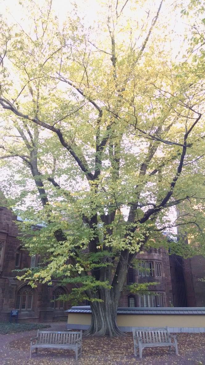 Yale Tree Pic 5-9-17 Blog
